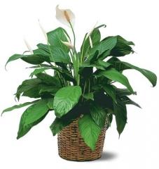 Спатифиллум букет купить цветы